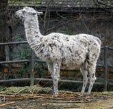 骆马在它的封入物 免版税库存图片