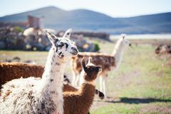 骆马在安地斯,玻利维亚 免版税库存图片