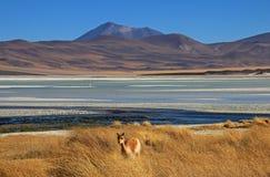 骆马在撒拉族阿瓜斯卡连特斯火山,阿塔卡马沙漠,智利 图库摄影