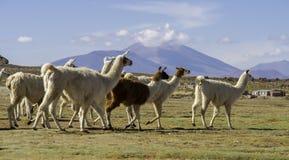 骆马在撒拉族de Uyuni,玻利维亚 库存图片
