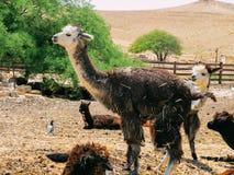 骆马在羊魄农场 图库摄影
