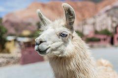 骆马在Purmamarca, Jujuy,阿根廷 库存图片
