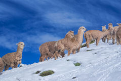 骆马牧群在安地斯 免版税库存图片