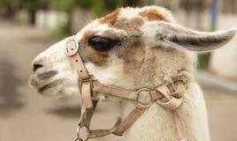 骆马的纵向 图库摄影