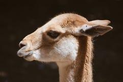 骆马纵向 免版税库存照片