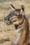 骆马纵向 免版税库存图片