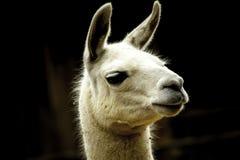 骆马面孔 图库摄影