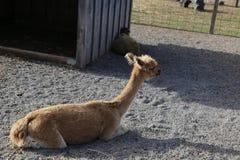 骆马,羊魄 免版税图库摄影