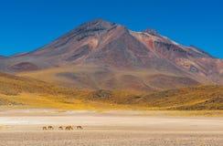 骆马,阿塔卡马沙漠,智利牧群  免版税库存照片