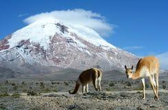 骆马类。stratovolcano钦博拉索山,山脉欧美人,安地斯, 免版税库存图片