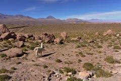 骆马& x28; 喇嘛glama& x29;吃草在一个岩石多山领域 库存照片