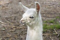 骆马(喇嘛glama)婴孩 免版税库存图片