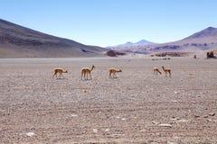 骆马类骆马类骆马类 图库摄影