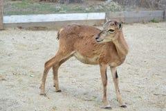 骆马类 免版税库存照片