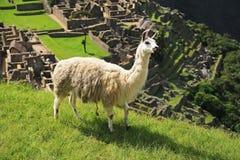 骆马machu秘鲁picchu 免版税库存照片