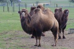 骆驼三 免版税库存图片