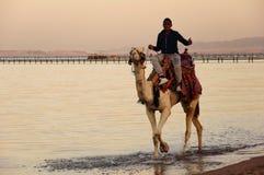 骆驼乘驾 库存图片