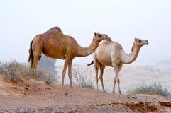 骆驼二 免版税库存图片