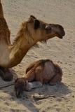 骆驼他的在翼之下的小母亲 免版税图库摄影
