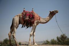 骆驼他自己 免版税图库摄影
