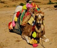 骆驼位于 免版税库存图片