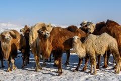 骆驼农厂雪冬天 图库摄影