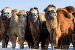 骆驼农厂雪冬天 免版税库存照片