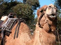 骆驼准备好乘驾微笑 免版税图库摄影