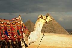 骆驼前金字塔 库存照片