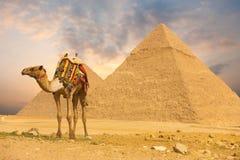 骆驼前h金字塔突出 免版税图库摄影