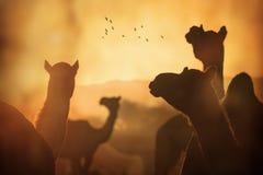骆驼剪影在普斯赫卡尔, Mela 免版税库存图片