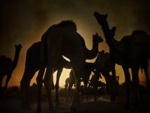 骆驼剪影在普斯赫卡尔, Mela 库存照片