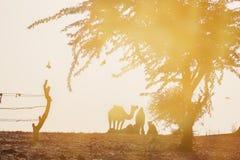 骆驼剪影在普斯赫卡尔, Mela 图库摄影