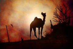骆驼剪影在普斯赫卡尔 库存照片
