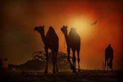 骆驼剪影在普斯赫卡尔 免版税库存照片