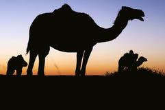 骆驼剪影 库存照片