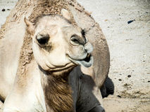 骆驼卡迈勒 免版税库存图片