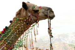 骆驼印度 免版税库存图片