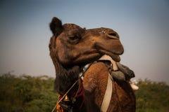 骆驼印度 库存图片