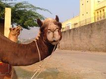 骆驼印度 免版税图库摄影