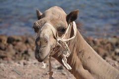 骆驼口鼻部 库存图片