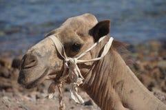 骆驼口鼻部 免版税库存图片