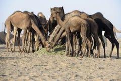 骆驼吃叶子 免版税库存图片