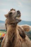骆驼吃着 库存照片