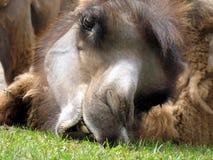 骆驼吃 库存图片