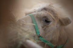 骆驼吃 免版税库存图片