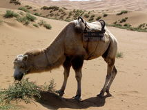 骆驼吃 免版税库存照片
