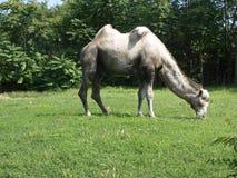 骆驼吃 库存照片