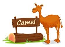 骆驼和名字板极 库存图片