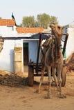 骆驼和孔雀 免版税库存图片